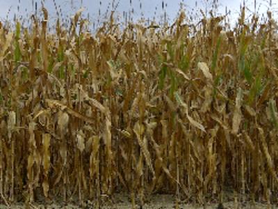 Maïs génétiquement modifié MON 810: le retour