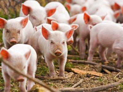ICPE: l'élevage porcin bascule vers le régime de l'enregistrement