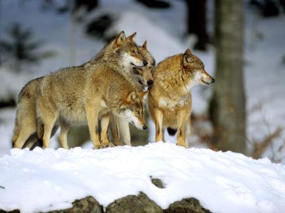 Loup: le rôle du préfet coordonnateur va être renforcé
