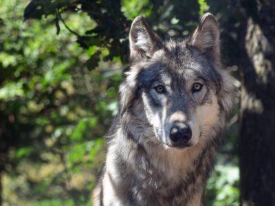 Les préfets et la maîtrise des tirs sur les loups