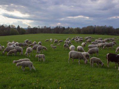 Pastoralisme: le Sénat adopte une proposition de résolution