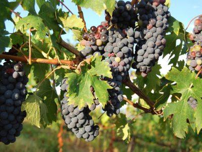 Relance de la filière viticole: des élus restent sur leur soif